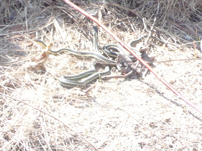 garter snakes after awaking Maberly, Ontario Canada