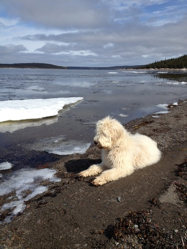 Boomer relaxing on the beach. Birchy Bay, Newfoundland and Labrador Canada