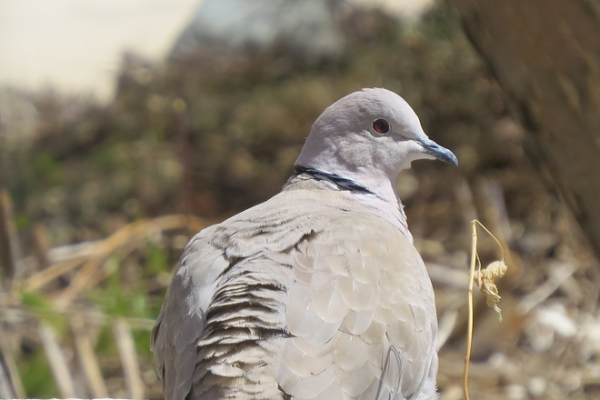 Eurasian Collared Dove Vanscoy, Saskatchewan Canada