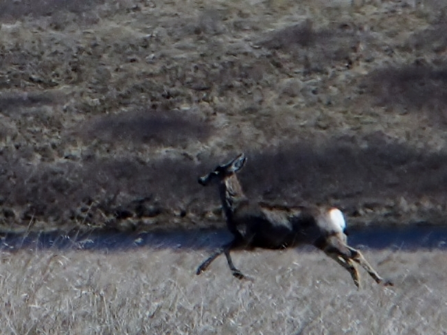 running muley Fauquier, British Columbia Canada