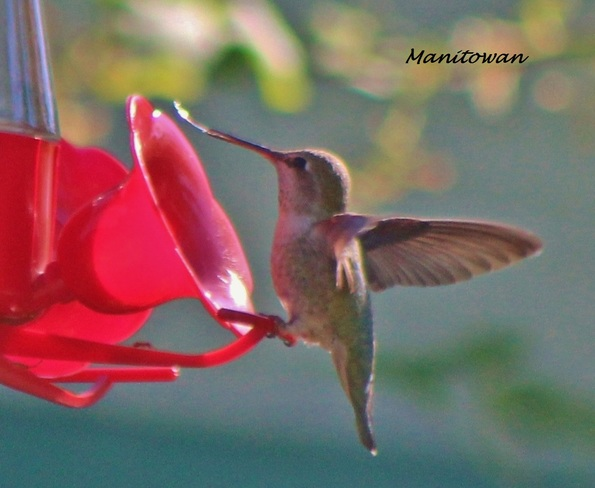 Sun Kissed Hummingbird Tongue Richmond, British Columbia Canada