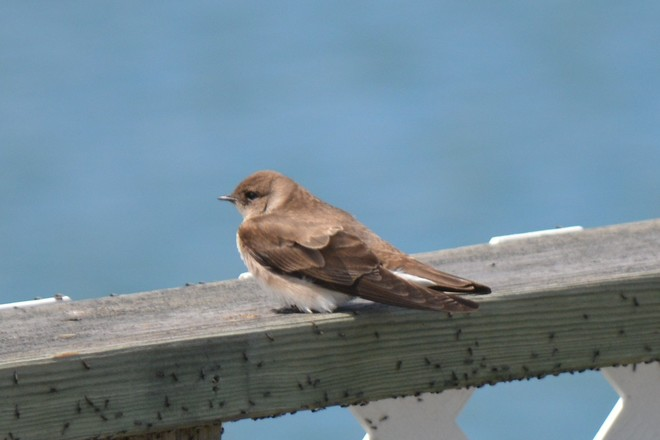 Bank Swallow! St. Catharines, Ontario Canada