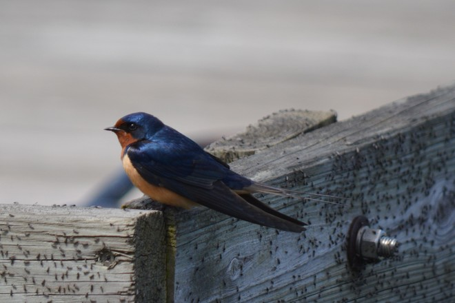 Barn Swallow! St. Catharines, Ontario Canada