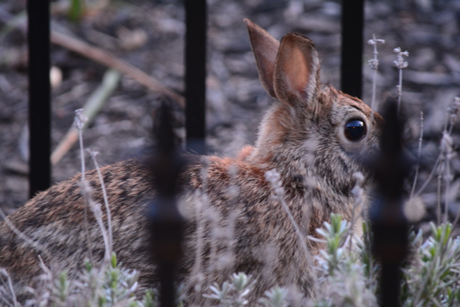 Cottontail Rabbit! St. Catharines, Ontario Canada
