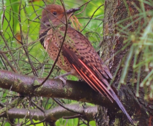 Northern Flicker Colours New Westminster, British Columbia Canada