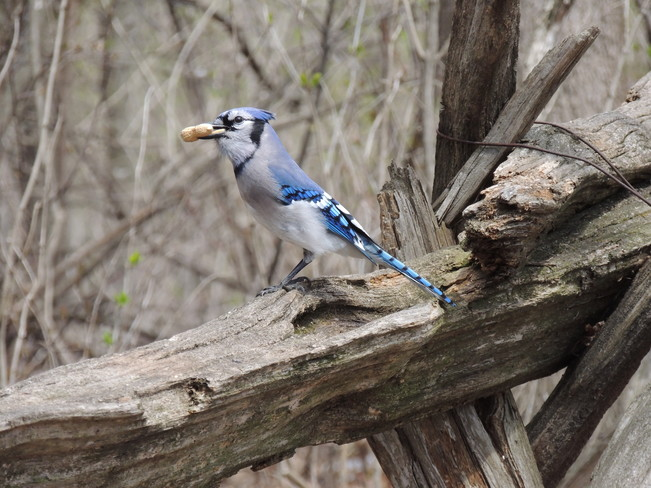 Beautiful Blue Jay with a snack Pickering, Ontario Canada