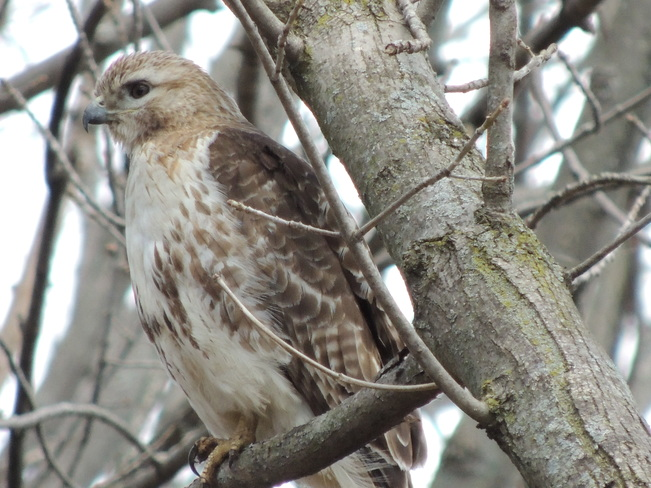 Red tailed hawk Pickering, Ontario Canada
