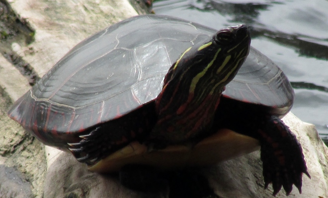 Turtle London, Ontario Canada