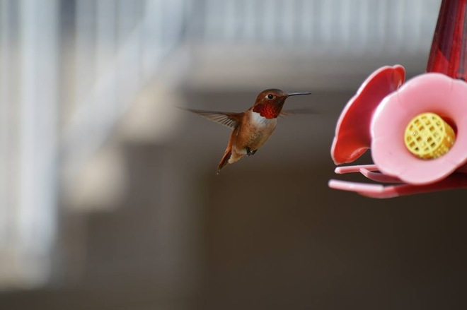 Humming Birds Prince George, British Columbia Canada
