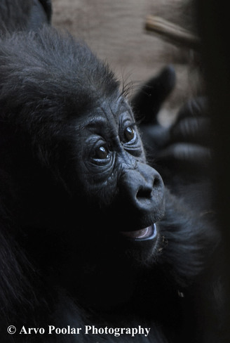 "Baby Gorilla ""Nneka"" reveals herself Scarborough, Ontario Canada"