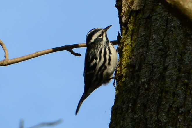 Black and White Warbler Delhi, Ontario Canada