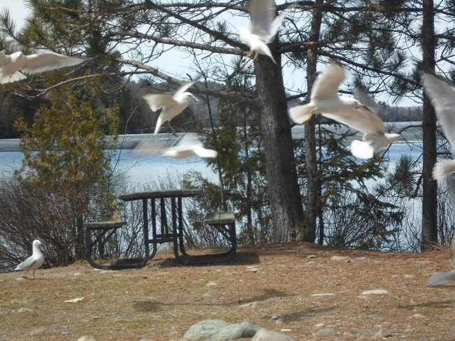 Sea Gulls in Flight on beautiful day E.L. Elliot Lake, Ontario Canada