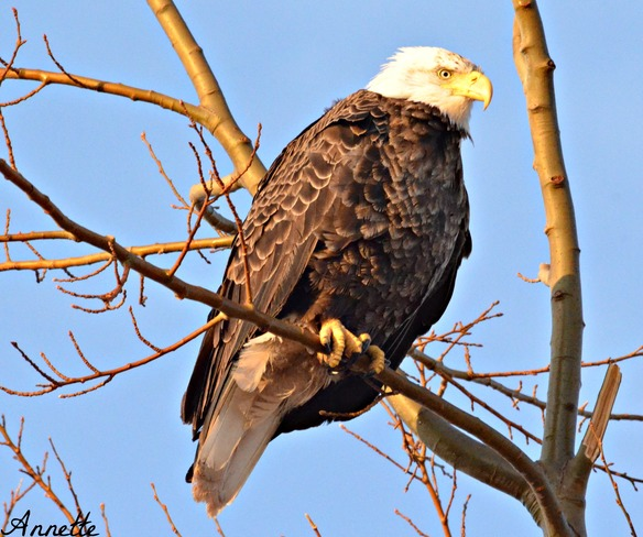 Bald eagle relaxing in a tree Baie de Bouctouche, New Brunswick Canada