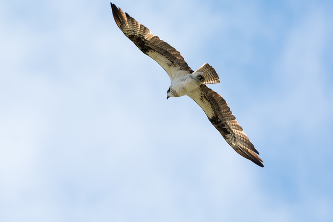 Osprey: The Other Woman Kingston, Ontario Canada