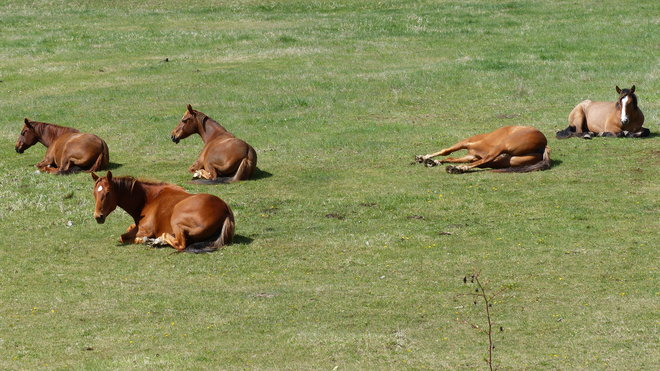Napping horses Grand Forks, British Columbia Canada