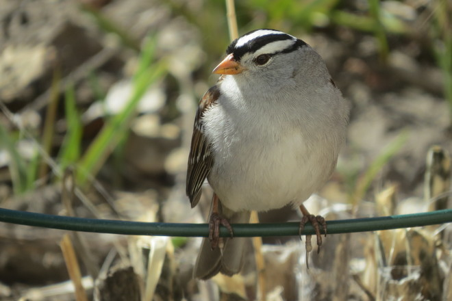 white crowned sparrow Vanscoy, Saskatchewan Canada
