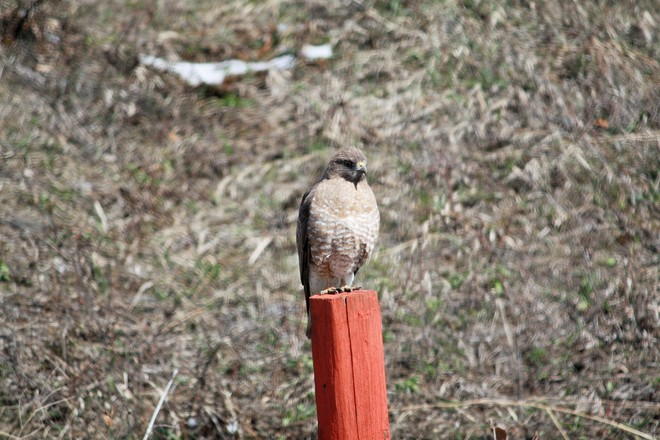 Broad-winged hawk.Love wildlife Calgary, Alberta Canada
