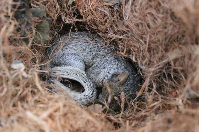Baby Squirrel in a nest Welland, Ontario Canada