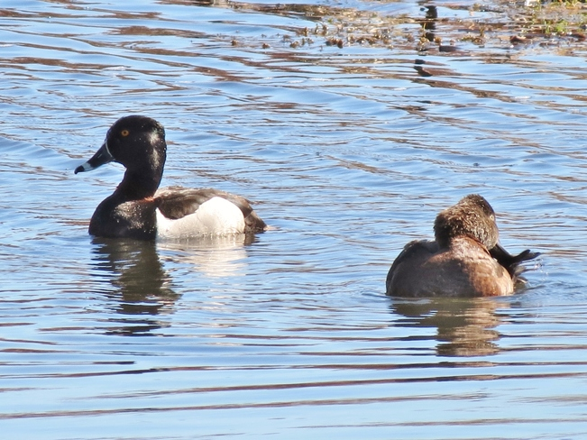 Ring-necked Duck Sackville, New Brunswick Canada