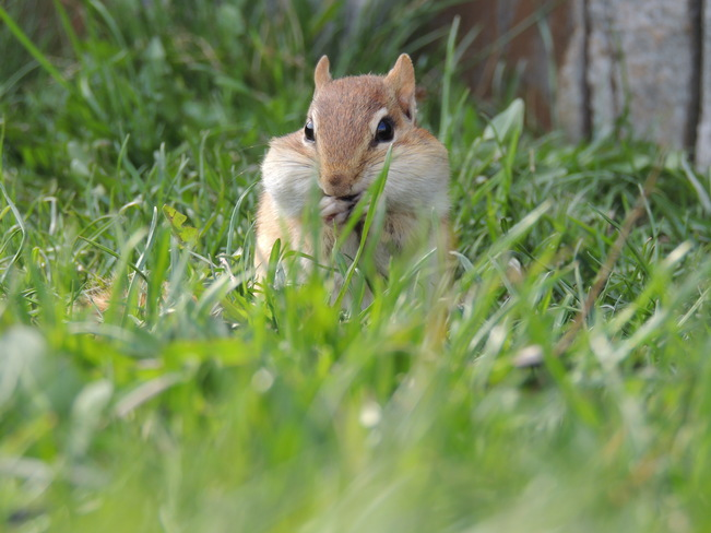 Chipmunk stuffing his face Newmarket, Ontario Canada