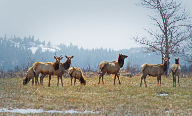 Waterton Elk Herd Lethbridge, Alberta Canada