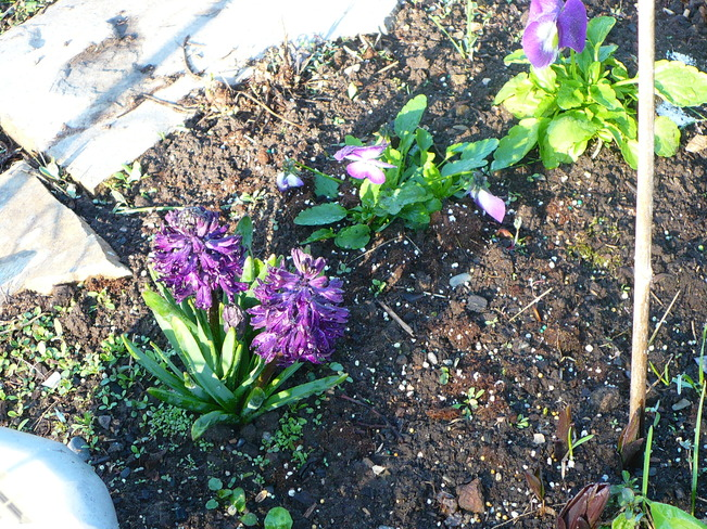 Black Hyacinth Quesnel, British Columbia Canada