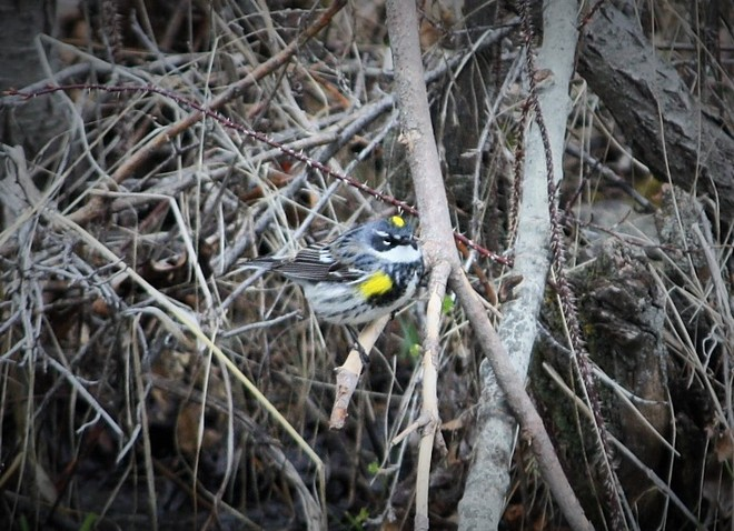 Yellow-rumped warbler say Happy Mothers Day! Calgary, Alberta Canada