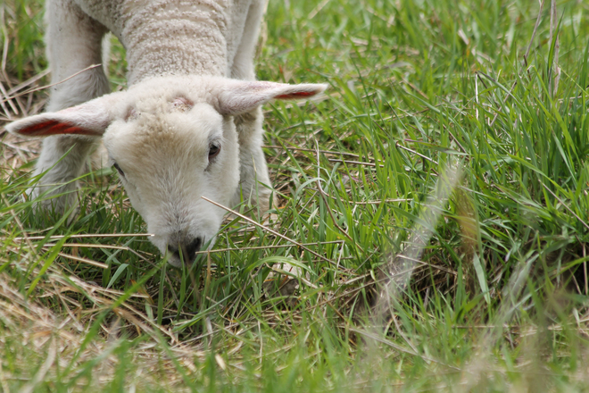 Lamb Kingston, Ontario Canada