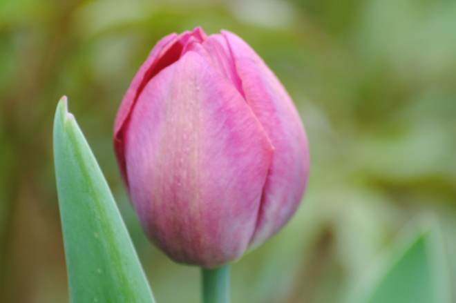 Tulip Bud Kingston, Ontario Canada