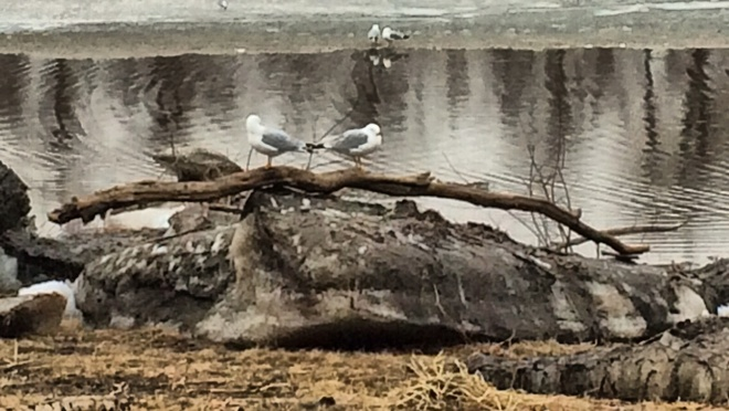 seagulls being seagulls. Fort McMurray, Alberta Canada
