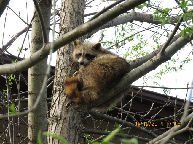 The treed coon