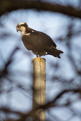 Osprey Perch Peterborough, Ontario Canada