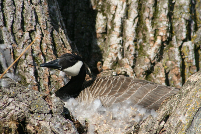 nesting goose Whitchurch-Stouffville, Ontario Canada