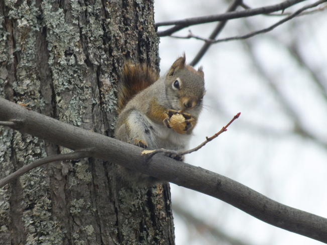 Squirrel & His Nut