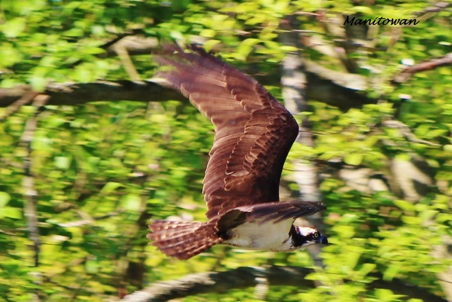 Flight Of The Osprey Vancouver, British Columbia Canada
