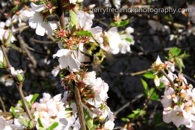 Bee on my cherry tree Cranbrook, British Columbia Canada
