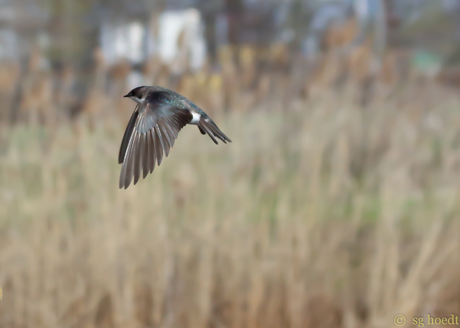 Tree swallow in flight Dunnville, Ontario Canada