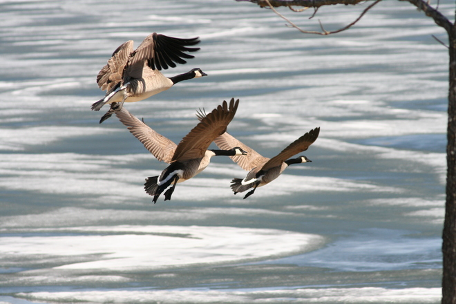 Geese over frozen lake Kenora, Ontario Canada