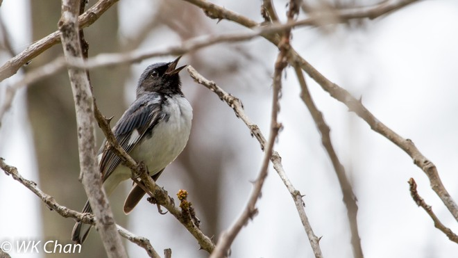 Black-throated Blue Warbler Mississauga, Ontario Canada