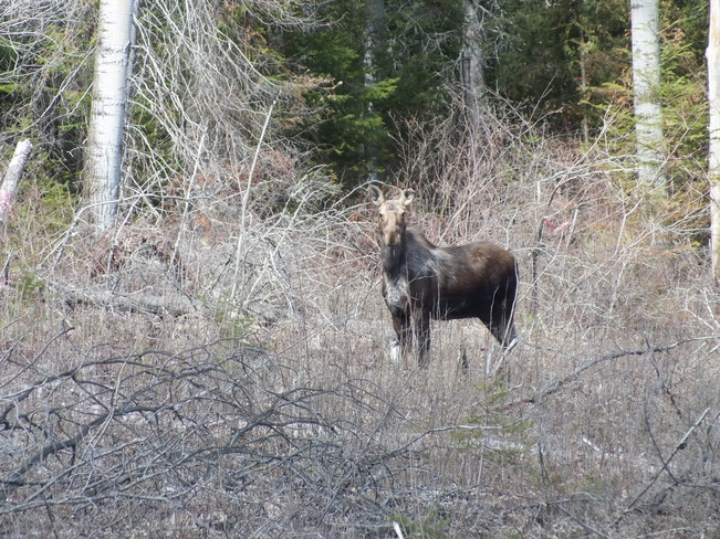 Mother's Day Moose Iroquois Falls, Ontario Canada