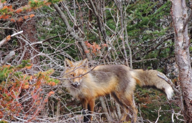 A Fox in Holyrood NL last evening St. John's, Newfoundland and Labrador Canada