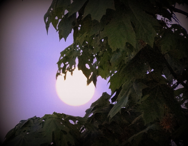The full moon is cradled by maple leaves Royston, British Columbia Canada