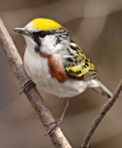 Chestnut-sided warbler Point Pelee, Ontario Canada