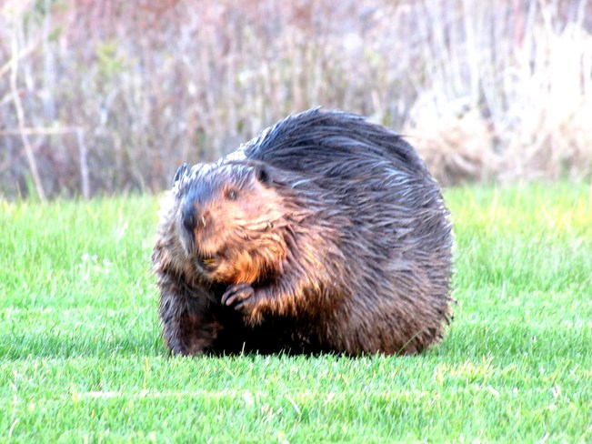Mr. Beaver Waving To Me Sherbrooke, Nova Scotia Canada