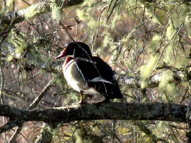 Beautiful Male Wood Duck Sherbrooke, Nova Scotia Canada