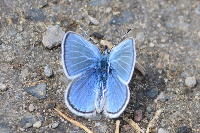 blue sky butterfly South Vernon, British Columbia Canada
