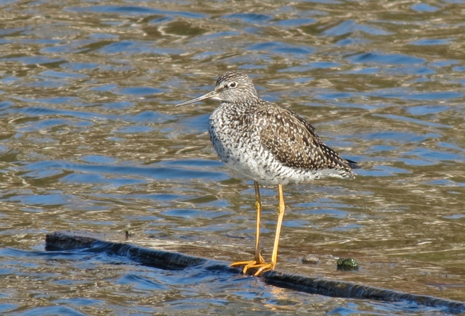 Greater Yellowlegs Sandpiper Sackville, New Brunswick Canada