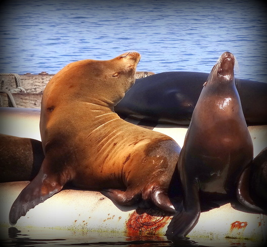 King and Queen Sea Lions Comox Valley, British Columbia Canada