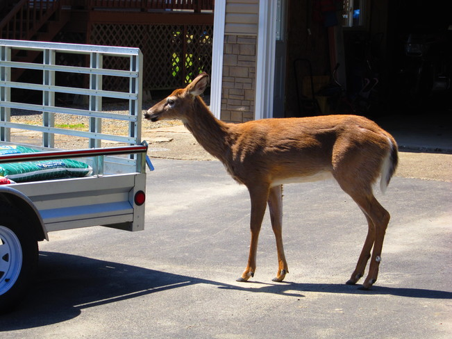 deer checking out trailer Temperance Vale, New Brunswick Canada