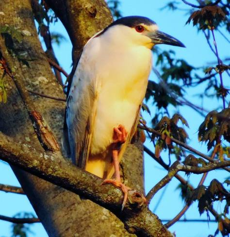 Black Crowned Night Heron Brockville, ON